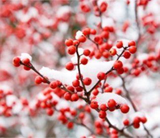 Fall & Winter Color Shrubs