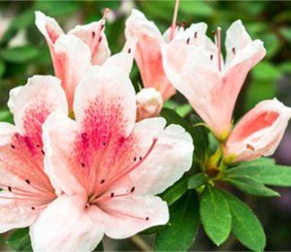 Spring Blooming Shrubs