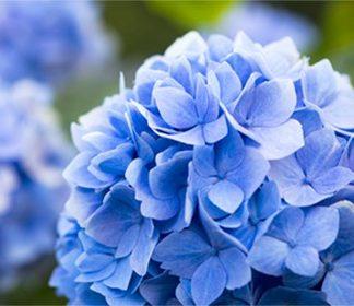 Summer Blooming Shrubs